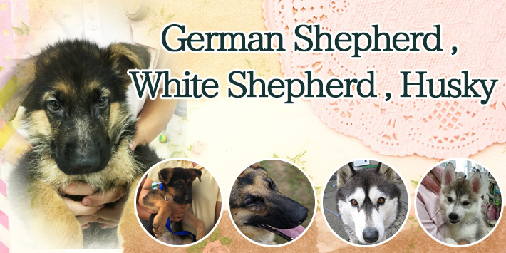 German Shepherd , White Shepherd , Husky